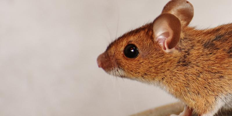 How Do Mice Invade Your Home