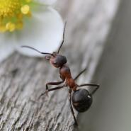 small black ant on a piece of wood walking up to a yellow and white flower